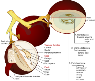 The anatomy of a grape